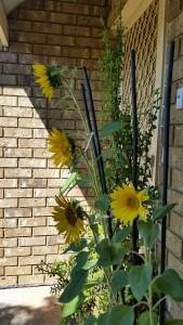 Maggie Sunflower 1