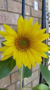 Maggie sunflower 2